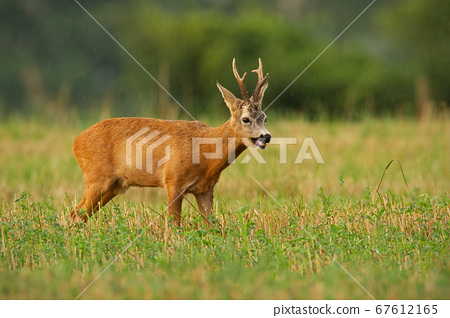 Majestic roe deer standing on stubble field during rain in summer nature. 67612165