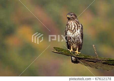 Common buzzard sitting on branch in summer. 67612178