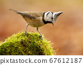 Little crested tit standing on moss in summer nature. 67612187