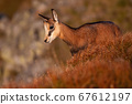 Little tatra chamois standing in mountains in summer at sunset. 67612197