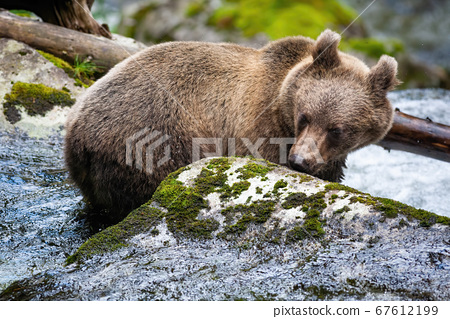 Curious brown bear sniffing rock with moss in river. 67612199