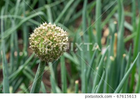 收穫種子的蔥(五月)家庭花園 67615613