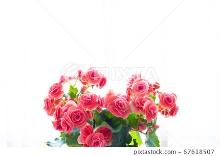 밝은 예쁜 리 가스 베고니아 (엘라 티올 베고니아)의 꽃 67618507