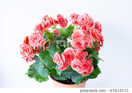 밝은 예쁜 리 가스 베고니아 (엘라 티올 베고니아)의 꽃 67618515