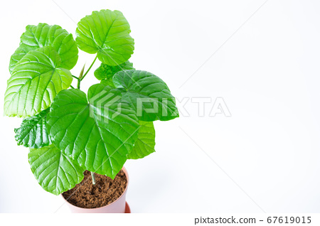 A photo of a bright and beautiful ornamental plant (Ficus umbellata) on a white background 67619015