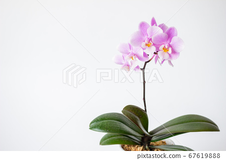 간단한 미니 호접란 꽃 흰색 배경 67619888
