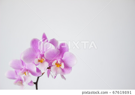 Simple mini Phalaenopsis flower white background 67619891