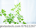 Bright and beautiful houseplant (stereo spermum) 67622267