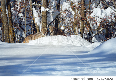 young italian wolf in the snow 67625028