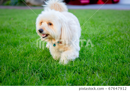 Cute puppy dog, poodle terrier walking on green 67647912