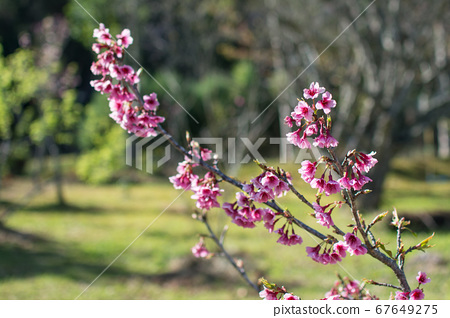 Blooming pink Wild Himalayan Cherry or Prunus 67649275