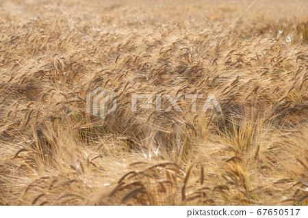 收穫時(5月)的啤酒大麥麥田 67650517