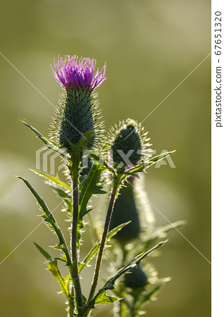 A thistle on a meadow 67651320
