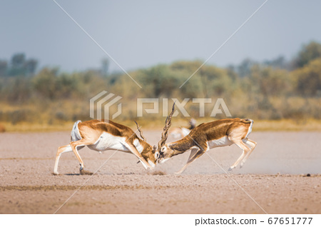 male blackbuck fighting in an open field Antilope fighting with full force from long horns in green background and scenic landscape with skyline at blackbuck national park Velavadar gujrat india 67651777