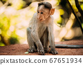 Goa, India. Young Infant Bonnet Macaque - Macaca Radiata Or Zati Sitting On park Ground. Portrait Of Cub. Monkey. 67651934