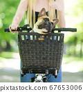 French bulldog dog enjoying riding in bycicle basket in city park 67653006
