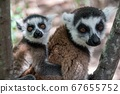 Lemur Catta with her cub  67655752