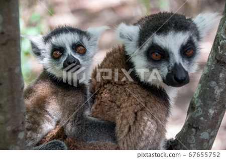 Lemur Catta with her cub  67655752