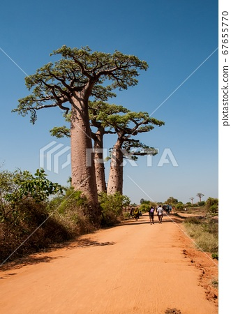 Baobabs along the sandy track near Morondava in Madagascar  67655770