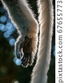 Close-up of hand and tail of a sifaka lemur 67655773