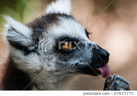 Close up of Lemur Catta with her cub  67655775