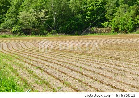 홋카이도 오토 베 정에서 싹이 나온 비둘기 보리밭의 초여름 풍경을 촬영 67655913