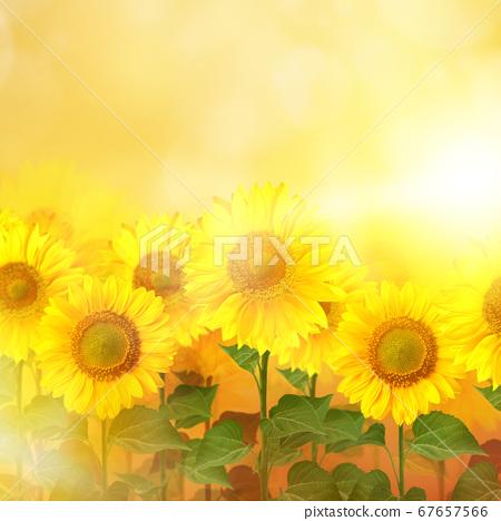 向日葵圖像背景 67657566