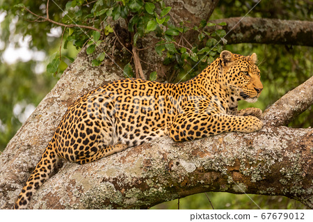 Close-up of leopard resting on lichen-covered tree 67679012