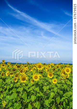 효고현 해바라기 언덕 공원 오노시 여름 이미지 67679925
