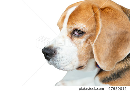 Close up face of Beagle dog face on isolated white 67680815