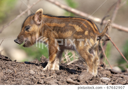 Young African Red River Hog 67682907