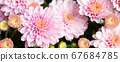 Beautiful close-up natural soft pink peach chrysanthemum flower background. Spring floral blossoming plant pastel colored bakckdrop. Nature garden blooming autumn, summer or spring decor 67684785