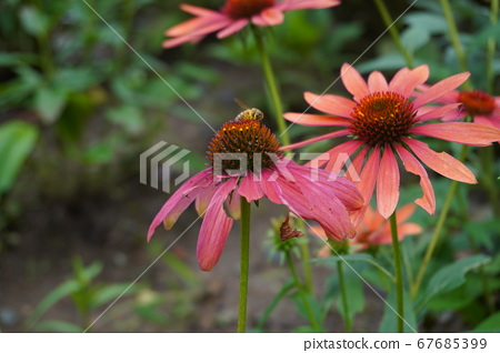 Honey bees stuck in flowers 67685399