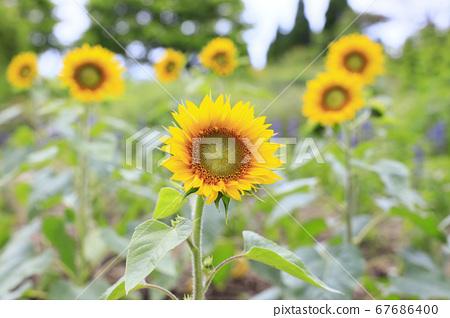 Garden Museum Hiei Summer Flowers 67686400