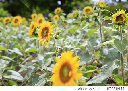 가든 뮤지엄 히에이 여름 꽃 67686451