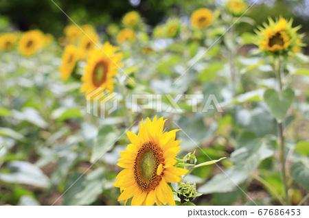 가든 뮤지엄 히에이 여름 꽃 67686453