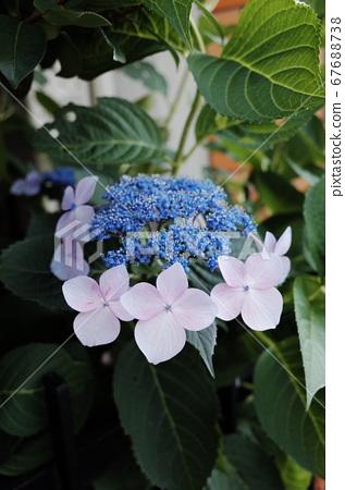 夏季盛開的繡球花 67688738