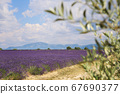France, Provence: lavender field and olive tree 67690377