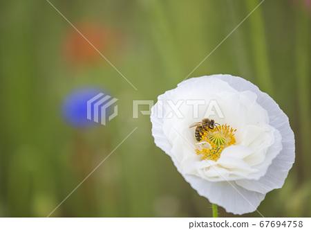 남양주시,한강시민공원,한강,삼패공원,양귀비,접사 67694758