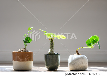 Stephania erecta and Dorstenia Plant under the 67695299