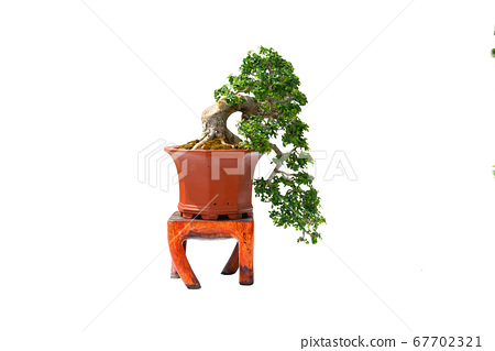 A small bonsai tree in a ceramic pot on the white background with clipping path. 67702321