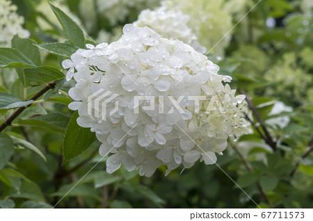 樹繡球花 67711573