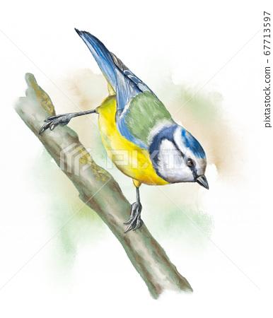 Grassland birds, blue tit 67713597