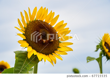 向日葵 真實 現實主義 藍天 植物 風景 特寫 戶外 sunflower ひまわり サンフラワー 67715535
