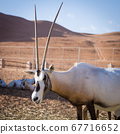 Large antelopes with spectacular horns, Gemsbok, Oryx gazella, being bred in captivity in Oman desert. 67716652