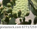 prickly pear Sicily Mediterranean Sea Cactus 67717259