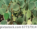Close up of Opuntia, commonly called prickly pear 67737914