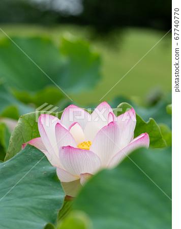 아름다운 꽃 연꽃 67740770