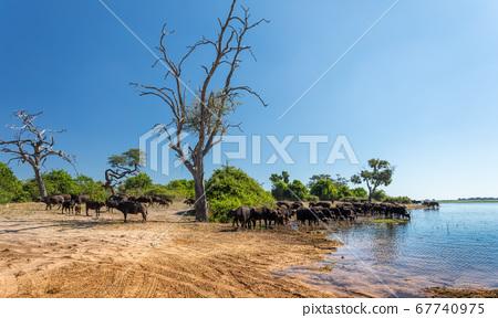 Cape Buffalo at Chobe, Botswana safari wildlife 67740975