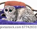 Scottish fold cat in fashionable round glasses 67742633
